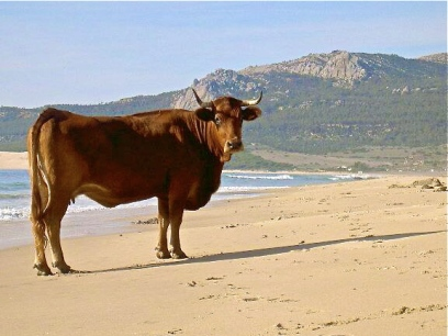 28 Cow on beach Bolonia